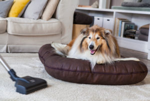 Dog, collie, apartment, vacuum cleaner, vacuuming, lying, space,