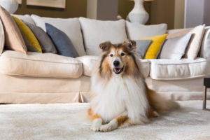 Dog, lying, carpet, living room, collie,