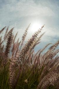 Poaceae, Panicoideae, Cenchrus, Pennisetum setaceum, cenchrus setacceus, Süßgräser, Gras, afrikanisches Lampenputzergras