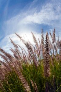Poaceae, Panicoideae, Cenchrus, Pennisetum setaceum, cenchrus setacceus, sweet grasses, grass, African pennon cleaner grass