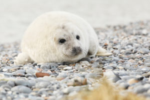 seal pup on Heligoland