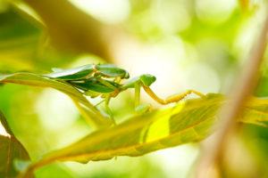 Sumatra, Bukit Lawang, praying mantis