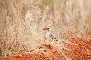 Kenya, Red-billed Toco, Amboseli National Park