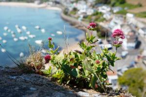 Jersey, Wildblumen an der Küste