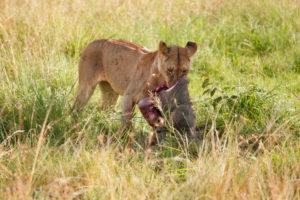 Afrika, Kenia, Masai Mara, Löwe mit Beute