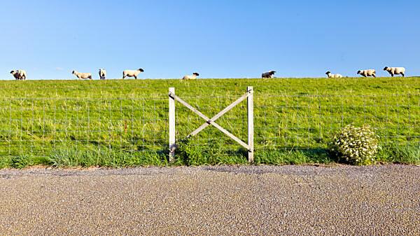Schafe, Deich, Norddeich, Sommer, Struktur, Norden, Nordsee, Wattenmeer, Ostfriesland, Niedersachsen, Deutschland,
