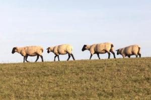 Schafe, Deich, Norddeich, Norden, Nordsee, Wattenmeer, Ostfriesland, Niedersachsen, Deutschland,