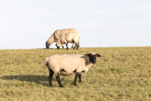 Sheep, dike, north dike, north, North Sea, Wadden Sea, East Frisia, Lower Saxony, Germany,