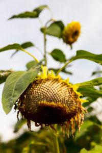 Sonnenblume, verblüht, Nahaufnahme, Blume, Botanik, Pflanzenwelt,  Norddeich, Niedersachsen, Deutschland,