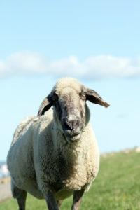 Schaf, Deich, Norddeich, Sommer, Struktur, Norden, Nordsee, Wattenmeer, Ostfriesland, Niedersachsen, Deutschland,
