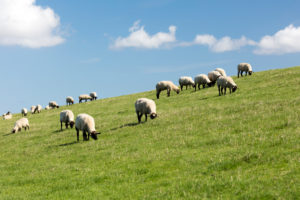 Sheep, Dike, Norddeich, Summer, Structure, North, North Sea, Wadden Sea, East Frisia, Lower Saxony, Germany,