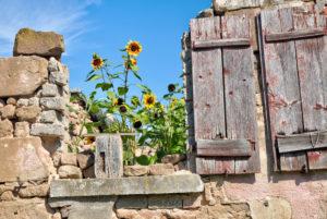 Steinmauer, Sonnenblumen, Holzladen, Garten, Stillleben, Wolfram-Eschenbach, Franken, Bayern, Deutschland
