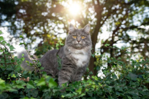 Young blue tabby white maine coon cat standing on wall covered with ivy in front of trees in a forest looking at camera with sun in the background
