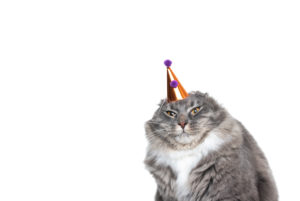 funny studio portrait of an annoyed young blue tabby maine coon cat displeased about wearing a birthday hat looking at camera in front of white background with copy space