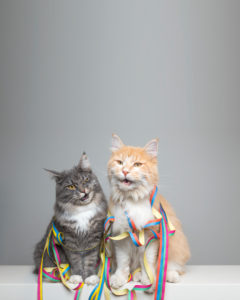 funny portrait of two maine coon cats sitting next to each other surrounded by colorful paper streamer looking at camera with open mouth in front of neutral background with copy space