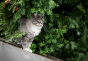 blue tabby maine coon cat standing on roof top of a shed in the garden observing birds hiding behind conifer