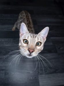 high angle view portrait of a curious black silver tabby rosetted bengal cat looking up at camera