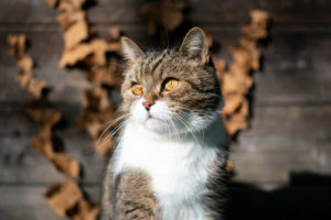 portrait of a tabby white british shorthair cat in front of wooden shed looking to the side in sunlight