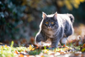 blue tabby maine coon cat outdoors on the prowl walking on autumn leaves in the sunlight