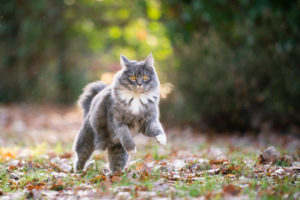 blue tabby maine coon cat outdoors running on grass with autumn leaves looking at camera curiously