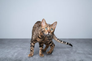 portrait of a playful young bengal cat looking at camera curiously on concrete ground in front of white wall