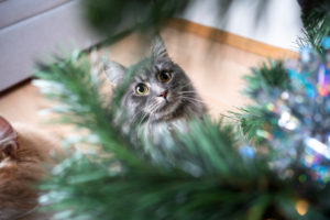 high angle view of a blue tabby white maine coon cat looking up at christmas tree curiously