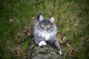curious blue tabby white maine coon cat climbing up a birch tree outdoors in nature looking at camera