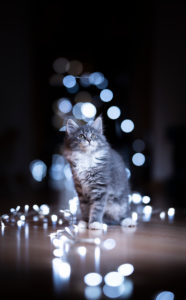 christmas portrait of a cute blue tabby white maine coon kitten sitting on the floor next to light string bokeh decoration looking up curiously