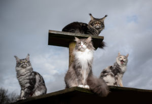 a group of 4 maine coon cats resting on natural diy scratching post outdoors observing the area