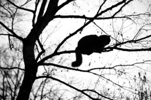 silhouette of a maine coon cat climbing on high bare tree resting on branch observing the area on a winter day