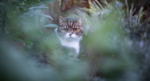 tabby white british shorthair cat in the bushes on the prowl
