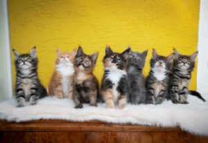 group portrait of seven different colored maine coon kittens sitting on fake fur looking up curiously