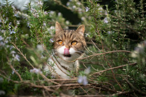 tabby white british shorthair cat hiding in rosemary bush licking over nose looking to the side
