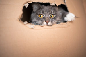 playful Blue tabby white maine coon cat inside of cardboard box looking out of hole