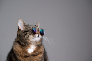 studio portrait of overweight tabby cat wearing sunglasses looking to the side on gray background with copy space