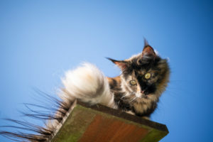 tortoiseshell maine coon cat sitting on elevated viewpoint outdoors in front of clear blue sky looking down