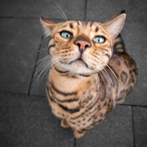 cute and funny bengal cat portrait