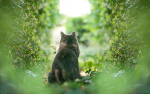 rear view of a curious maine coon cat observing the garden