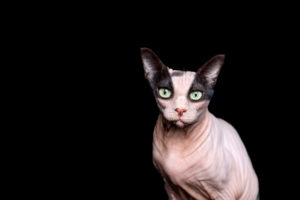 funny photo manipulation of two different cats mixed together. a black cat and a hairless sphynx cat