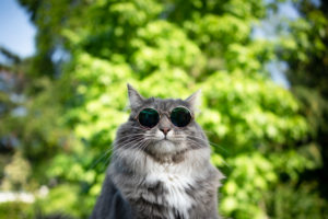 cute blue tabby white maine coon cat wearing glasses outdoors looking funny