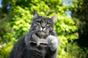 cool blue tabby white maine coon cat taking off suglasses looking surprised