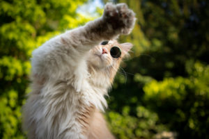 cute cream colored maine coon cat wearing sunglasses,raised paw, no photo please