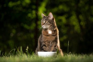 tabby cat sitting behind dish outdoors waiting for food