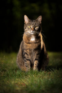 tabby shorthair cat sitting on lawn looking at camera