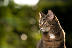 tabby shorthair cat in nature looking to the side with copy space