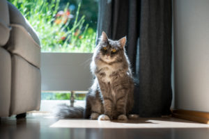 cute blue tabby maine coon cat sitting in sunlight in front of window