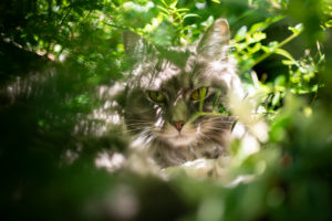 maine coon cat resting between lush foliage in the sunlight