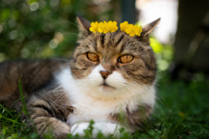 tabby white british shorthair cat wearing a crown made of yellow flowers on it's head