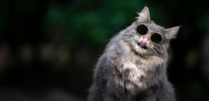 blue tabby white maine coon cat wearing cool sunglasses licking lips and tilting head