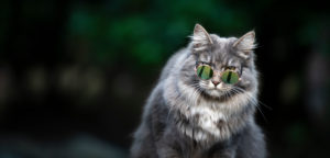 cool blue tabby white maine coon cat wearing sunglasses looking at camera outdoors
